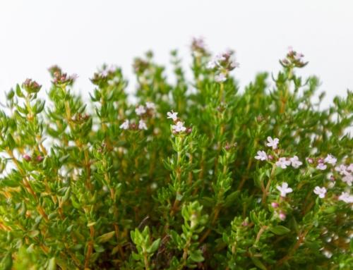 Les plantes aromatiques : différents aspects de Jésus à travers elles